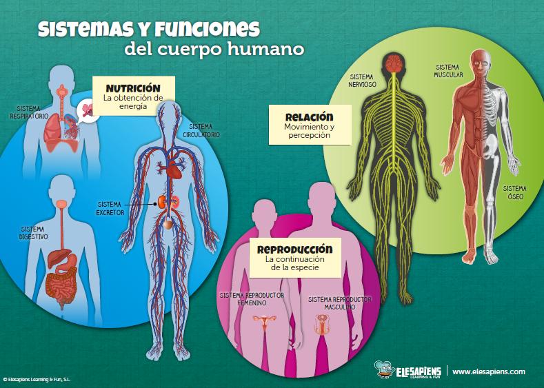 6 infografías bilingües sobre el cuerpo humano – Elesapiens\' Blog